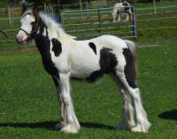 N'Co Roulette's Cashin In, 2015 Gypsy Vanner Horse colt