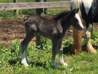 Onyx foal, 2016 Gypsy Vanner Horse filly