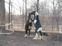 Bommar, Gypsy Vanner Horse colt