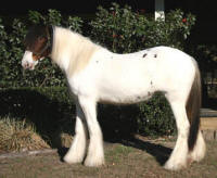 GG Chandra, 2007 Gypsy Vanner Horse filly