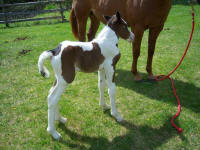Prarie Thunder Charlet, 2008 Gypsy Vanner Horse filly