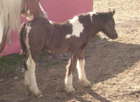 Charlie's Angel, 2010 Gypsy Vanner Horse colt