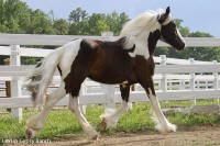 Lexlin's Charm, 2009 Gypsy Vanner Horse mare