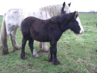 Charock, 2007 Gypsy Vanner Horse colt