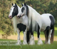 Chauvani, 1995 imported Gypsy Vanner Horse mare