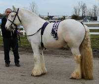 Faugh-A-Balla of WillowWind, 2013 Gypsy Vanner Horse stallion