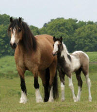 Lake Ridge Cherakee Princess, imported Gypsy Vanner Horse mare