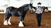 China, 2007 imported Gypsy Vanner Horse mare