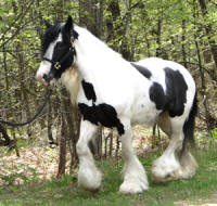 Stonehave Lady Clara, 2006 Gypsy Vanner Horse mare
