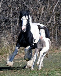 Clio, 2006 Gypsy Vanner Horse filly