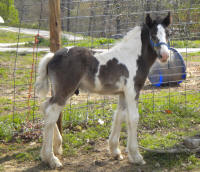Clio Colt, 2009? Gypsy Vanner Horse