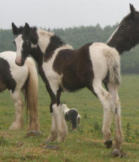 Aifric filly, 2006 imported Gypsy Vanner Horse foal