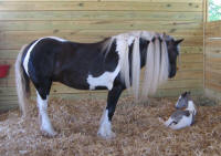 Cocoa colt, 2009 Gypsy Vanner Horse foal