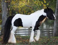 WR The Kings' Curtain Call, 2006 Gypsy Vanner Horse gelding