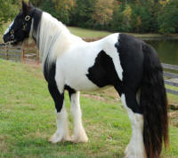 The King's Curtain Call, 2006 Gypsy Vanner Horse stallion