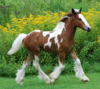 Copper Coin, 2009 Gypsy Vanner Horse colt