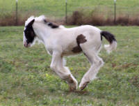 SFG Cordelia Rose, 2009 Gypsy Vanner Horse filly