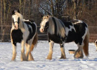 Crickettes Meadow Dance, 2010 Gypsy Vanner Horse mare