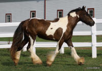 Producer's Crimson, 2008 Gypsy Vanner Horse filly