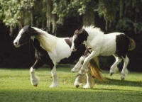 Crown Darby's Bali, 2000 Gypsy Vanner Horse filly