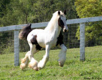 Belle Reid Friday's Crystal Blue Persuasion, 2009 Gypsy Vanner Horse filly