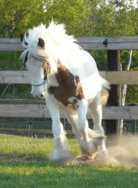 CaraVanners Crystaleyezd, 2012 Gypsy Vanner Horse filly