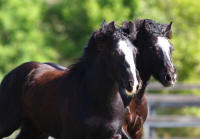 WR Cup of Joe, 2013 Gypsy Vanner Horse colt