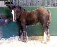 The Dealer's Choice Sophia of Thorn Hill, 2013 Gypsy Vanner Horse filly