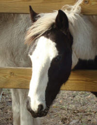WR Cosmos, 2008 Gypsy Vanner Horse colt