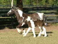 Papuza & Eclipse, Gypsy Vanner Horse mare and colt