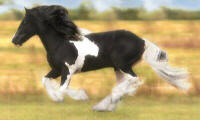 Dazzle Dance, imported Gypsy Vanner Horse stallion