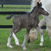 N'CO Roulette's The Black Dahlia, 2015 Gypsy Vanner Horse filly