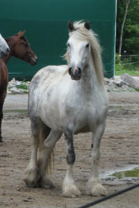 Daisy of Kastle Rock, 2003 imported Gypsy Vanner Horse mare