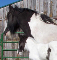 Darla, imported Gypsy Vanner Horse mare