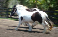 Sweet Mary Beth, 2005 Gypsy Vanner Horse mare