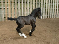 N'Co Daydreams About Night Things, 2009 Gypsy Vanner Horse colt