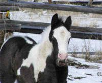 Gypsy Bedazzled, Gypsy Vanner Horse colt