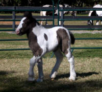 WR Destiny, 2007 Gypsy Vanner Horse colt