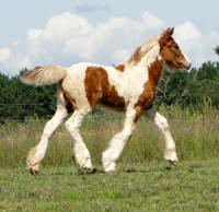 Feathered Gold Destined For Glory, 2013 Gypsy Vanner Horse filly