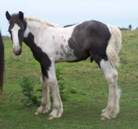 Feathered Gold Devlin, 2007 Gypsy Vanner Horse colt