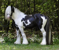 Diesel of Feathered Gold, 2008 Gypsy Vanner Horse stallion