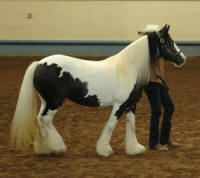 Dinah, 1998 imported Gypsy Vanner Horse mare