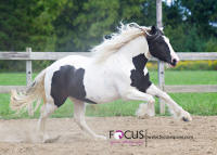 D'ango Belle, 2010 Gypsy Vanner Horse mare
