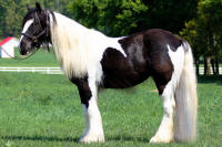 Doll's Eyes, 2008 imported Gypsy Vanner Horse mare