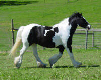 Dolly, imported Gypsy Vanner Horse mare