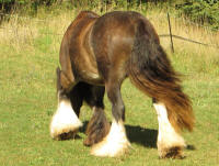 SD Diamond Dolly of Spruce Ridge, 2010 imported Gypsy Vanner Horse mare