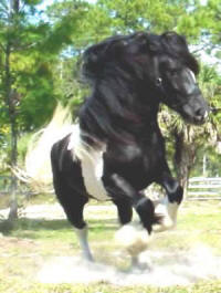 Dominic, Gypsy Vanner Horse colt