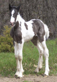 Feathered Gold Donovan, 2008 Gypsy Vanner Horse colt