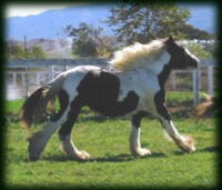 2007 Dottie filly, Gypsy Vanner Horse foal