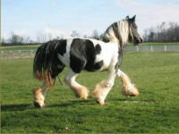 Sweep-One Dot She's Got, imported Gypsy Vanner Horse mare
